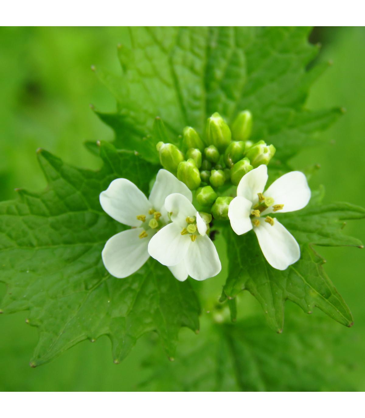 Česnáček lékařský - Alliaria petiolata - prodej semen - 0,1 g
