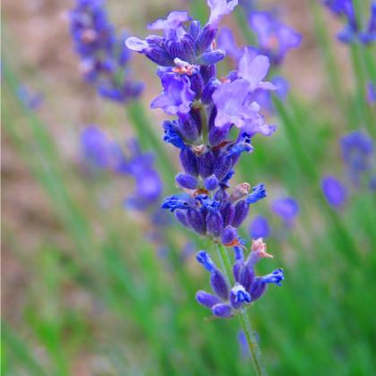 Levandule lékařská Lavance Speciál - Lavandula angustifolia - levandule semena - 15 ks