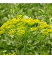 Kopr Virling - prodej semen kopru - 1 gr