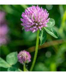 Jetel červený luční - Trifolium pratense - semena jetele - 100 ks