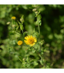 Blešník obecný - Pulicaria vulgaris - prodej semen - 50 ks