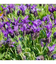 Levandule francouzská - Lavandula stoechas - semena levandule - 20 ks