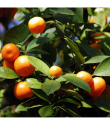 Pomerančovník zakrslý - Citrus mitis - osivo pomerančovníku - 3 ks