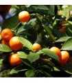 Pomerančovník zakrslý - Citrus mitis - semena - 3 ks