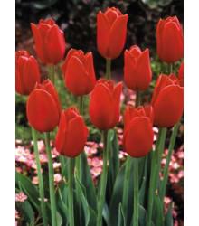 Tulipán Angelique - cibule tulipánů - podzimní cibuloviny - 4 ks