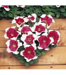 Petúnie mnohokvětá Red Frost F1 - Petunia multiflora - osivo petúnie - 20 ks