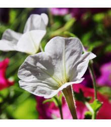 Petúnie bílá nízká Snowball - Petunia nana compacta - semena petúnie - 20 ks