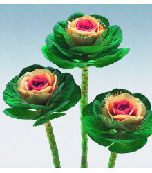 Okrasné zelí Crane F1 bicolor - Brassica oleracea - osivo okrasného zelí - 20 ks
