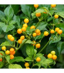 Chilli Aji Charapita - Capsicum chinense - osivo chilli - 7 ks