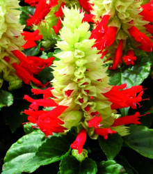 Šalvěj zářivá Red and White - Salvia splendens - semena - 20 ks
