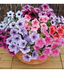 Petúnie Superbissima směs - Petunia nana compacta - semena petúnie- 20 ks