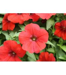 Petúnie Scarlet - Petunia nana compacta - osivo petúnie - 20 ks