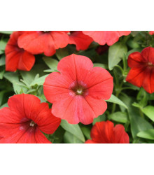 Petúnie Scarlet - Petunia nana compacta - semena petúnie - 20 ks