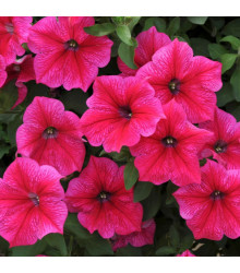 Petúnie Rose of Heavens - Petunia nana compacta - osivo petúnie - 20 ks