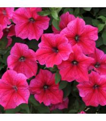 Petúnie Rose of Heavens růžová - Petunia nana compacta - semena - 20 ks