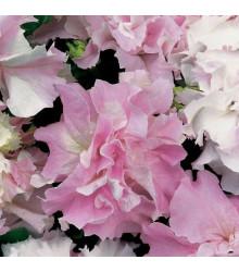 Petúnie Pirouette F1 - Orchid Mist - Petunia grandiflora - semena petúnie - 20 ks