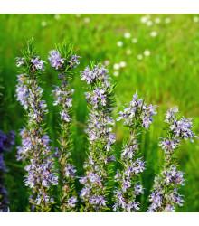 Rozmarýn lékařský Rosita - Rosmarinus officinalis - semena rozmarýnu - 50 ks