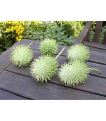 Okrasná okurka - Cucumis hirsutus - prodej semínek - 6 ks