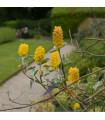 Stříbrocist Batandierův - Pineapple broom- Argyrocytisus battandieri - semena- 6 ks