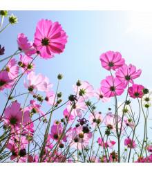 Letničky směs Romantická zahrad - směs - osivo letniček - 0,9 g