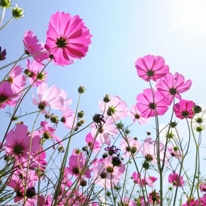Letničky Romantická zahrada - směs - osivo letniček - 0,9 g