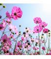 Letničky směs - romantická zahrada - semena letniček - 0,9 g