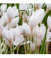 Ocún podzimní bílý - Colchicum autumnale album - 1 Ks - cibulky z Holandska