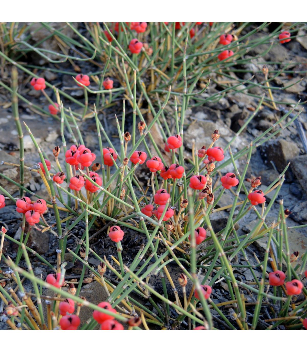 Chvojník nevadský - Ephedra nevadensis - semena - 8 ks