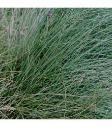 Chvojník čínský - Ephedra sinica - semena - 8 ks