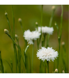 Chrpa luční bílá - Centaurea cyanus - osivo chrpy - 45 ks