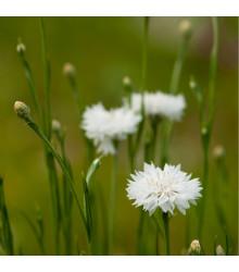 Chrpa luční bílá - Centaurea cyanus - semena Chrpy - 45 ks