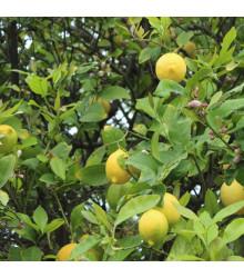 Citroník pravý - Citrus limon - semena citroníku - 5 ks