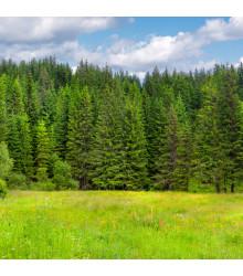 Smrk ztepilý - Picea abies - semena smrku - 8 ks