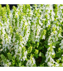 Šalvěj Victoria White - Salvia farinacea - semena šalvěje - 12 ks