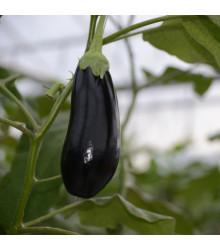 Lilek český raný - Solanum melongena - semena lilku - 100 ks