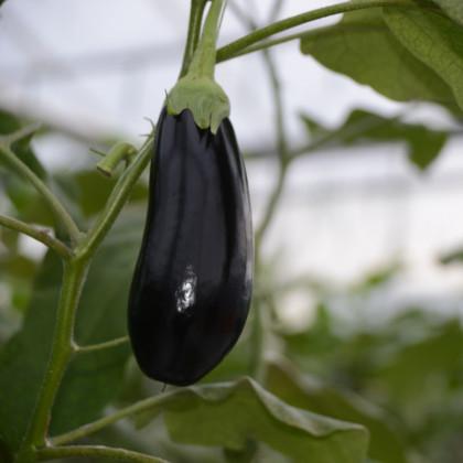 Lilek český raný - Solanum melongena - osivo lilku - 100 ks