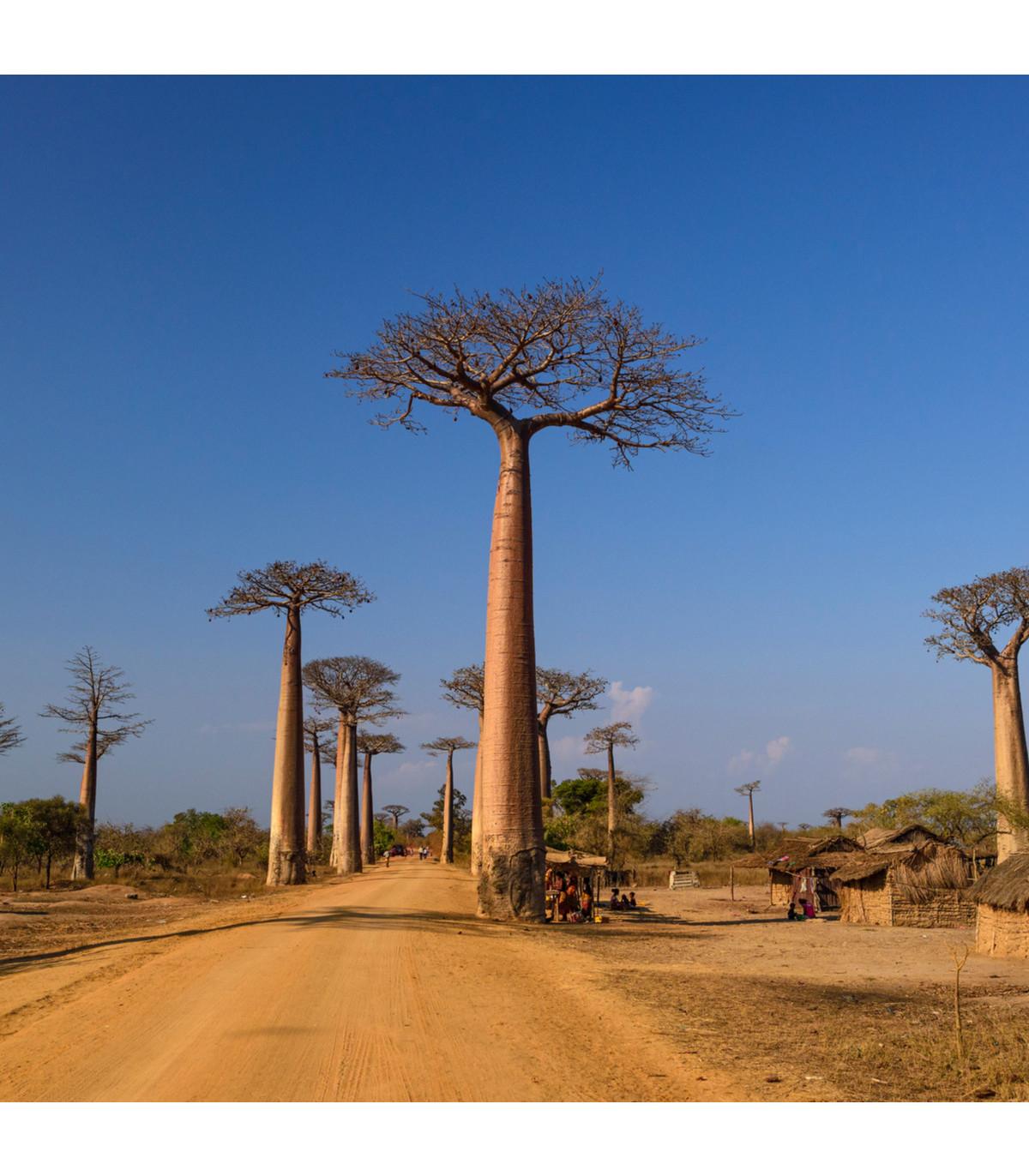 Baobab grandidieri - Adansonia grandidieri - semena baobabu - 2 ks