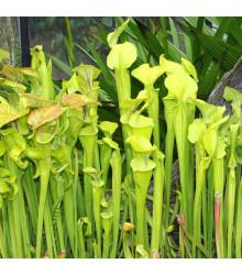 Špirlice náhorní - Sarracenia oreophilla - prodej semen špirlice - 12 ks
