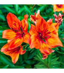 Semena - Lilie cibulkonosná - semena lilie - 5 ks - lilium bubliferum