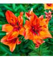 Lilie superbum - semena lilie - 5 ks
