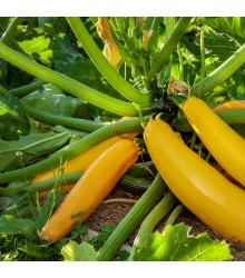 Bio cuketa Gold Rush - Cucurbita pepo - bio semena cukety - 7 ks