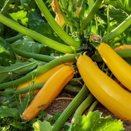 Bio cuketa Gold Rush - Cucurbita pepo - bio osivo cukety - 7 ks