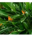 Strelície (Strelitzia nicolai)- semena- 3 ks