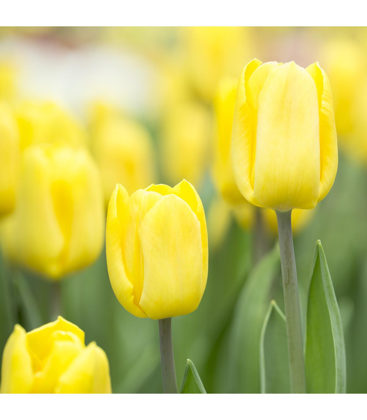 Tulipán Candela - Tulipa - cibule tulipánů - 3 ks