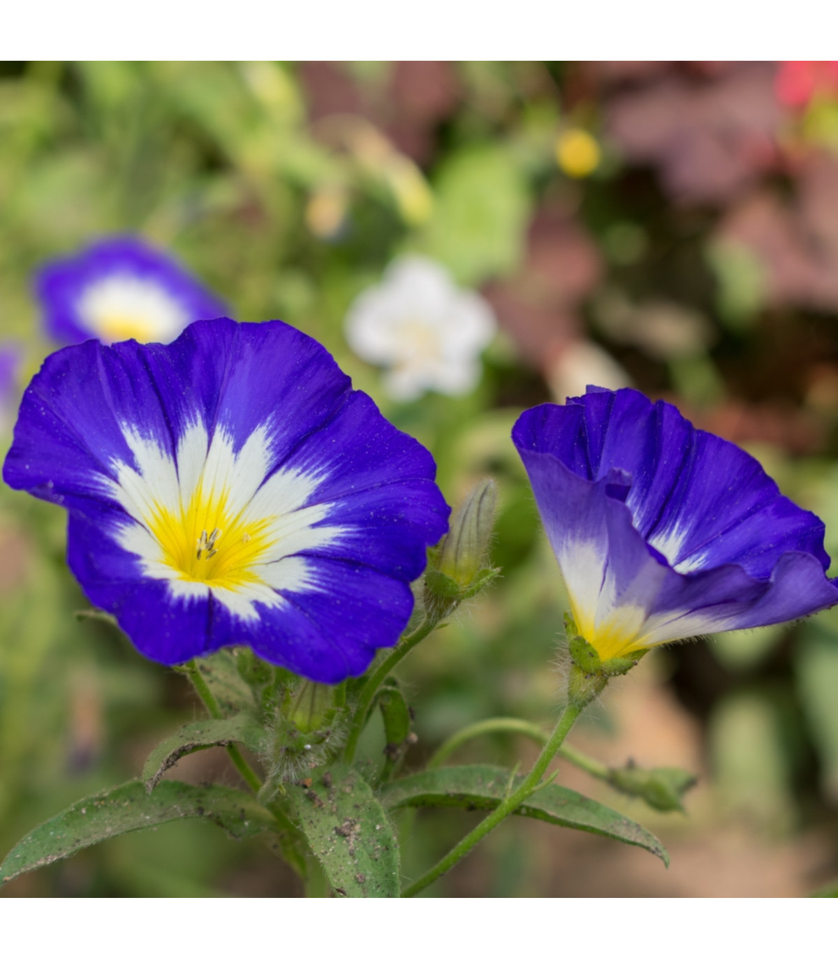 Svlačec trojbarevný - Convolvulus tricolor - osivo svlačce - 0,7 g