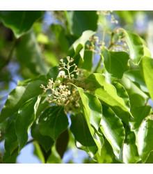 More about Kafrovník lékařský - Skořicovník kafrovník - Cinnamomum camphora - semena Skořicovníku - 6 ks