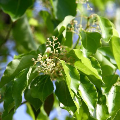 Kafrovník lékařský - Skořicovník kafrovník - Cinnamomum camphora - semena Skořicovníku - 6 ks