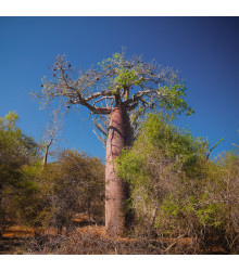 Baobab Fony - Lahvový strom - Adansonia fony - semena baobabu - 2 ks