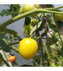 Rajče Lemon Plum - Lycopersicon lycopersicum L. - semena rajčat - 6 ks
