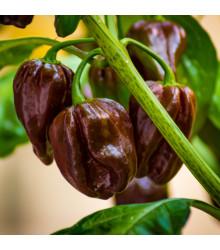 Paprika hnědá - Baby bell minipaprika - Capsicum annuum - osivo papriky - 10 ks